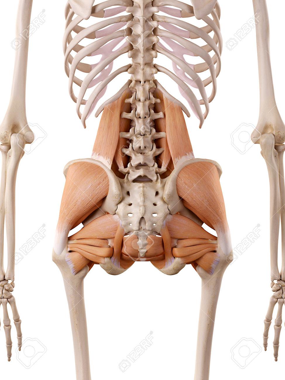Fein Anatomie Der Hüftmuskulatur Ideen - Anatomie Von Menschlichen ...