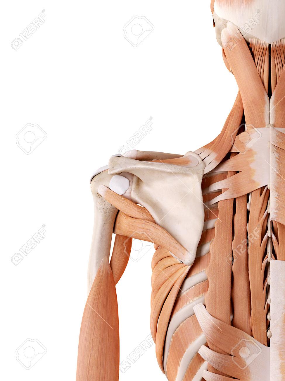 Großartig Schultermuskulatur Bilder Ideen - Menschliche Anatomie ...