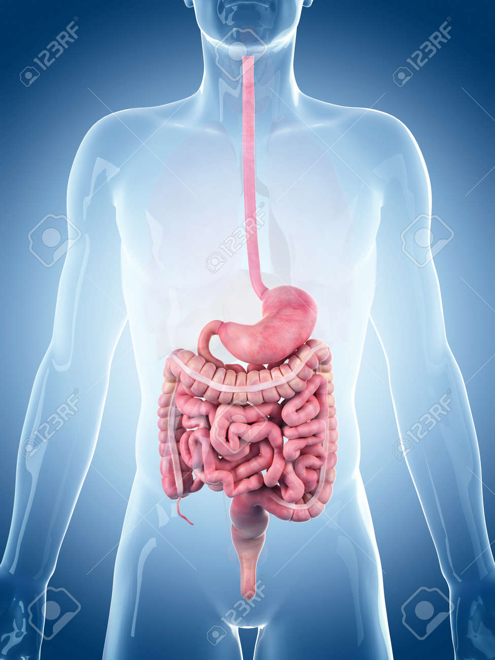 medically accurate illustration of the digestive system Stock Illustration - 45345847