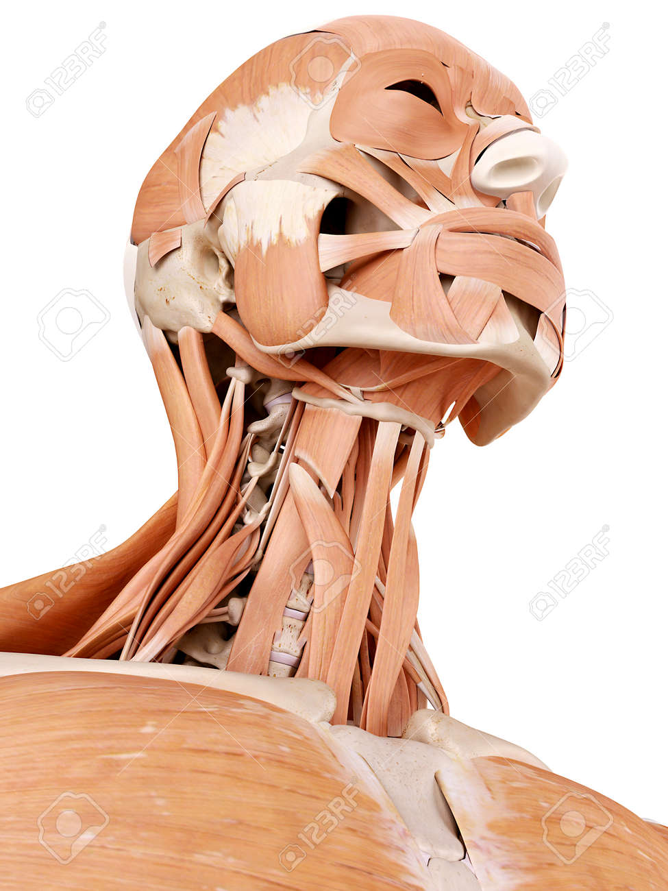 Medically Accurate Anatomy Illustration - Neck Muscles Stock Photo ...