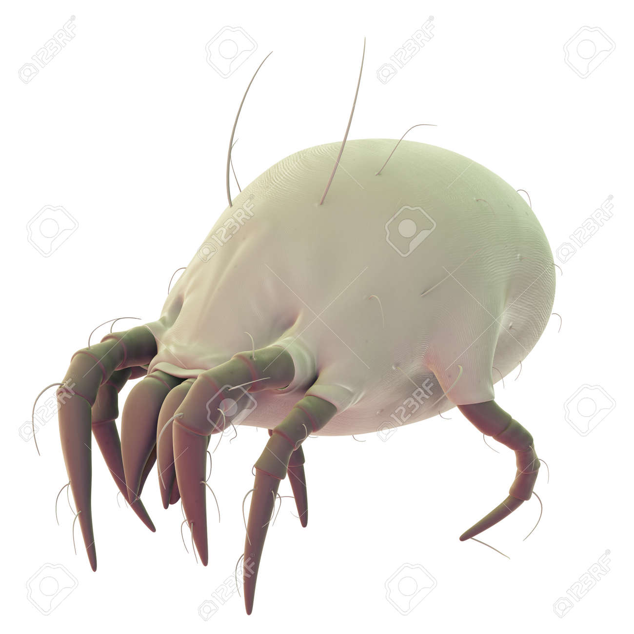 medically accurate illustration of a common dust mite - 45345960