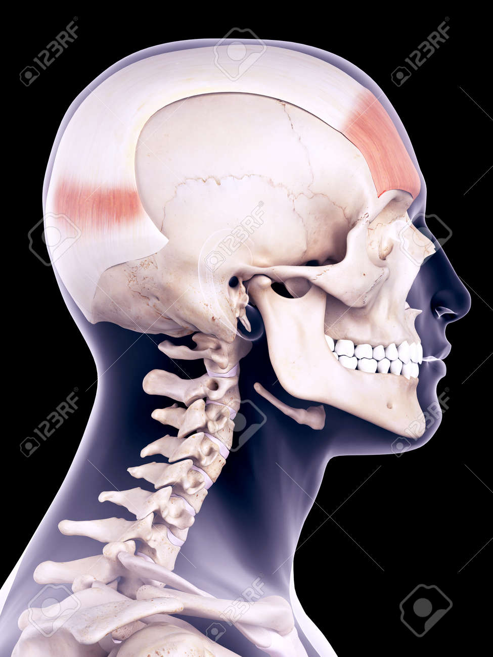 Medically Accurate Illustration Of The Frontalis Stock Photo ...