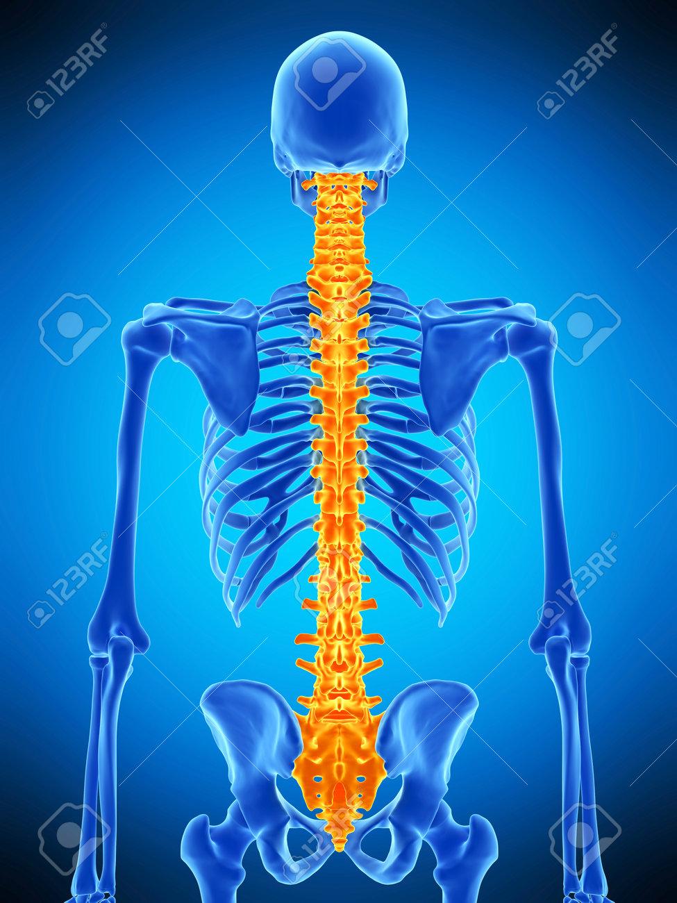 Ilustración Médicamente Exacta De La Columna Vertebral Humana Fotos ...