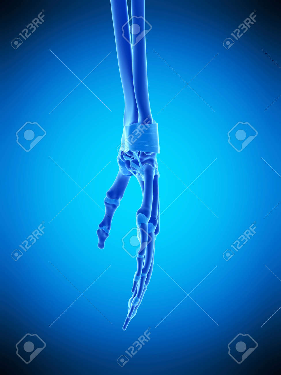 Medically Accurate Illustration Of The Hand Ligaments Stock Photo