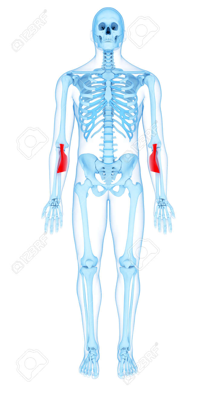 medically accurate illustration of the bicipital aponeurosis stock