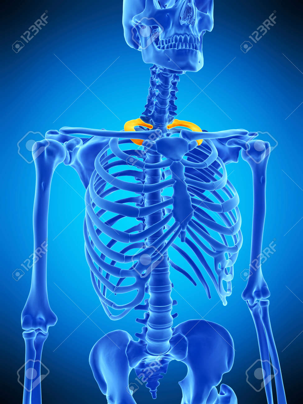 Medically Accurate Illustration Of The First Rib Stock Photo ...