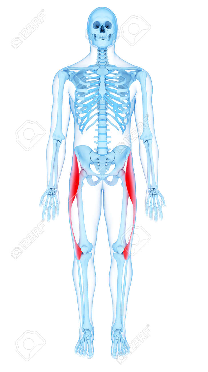 Medically Accurate Illustration Of The Tensor Fascia Lata Stock ...