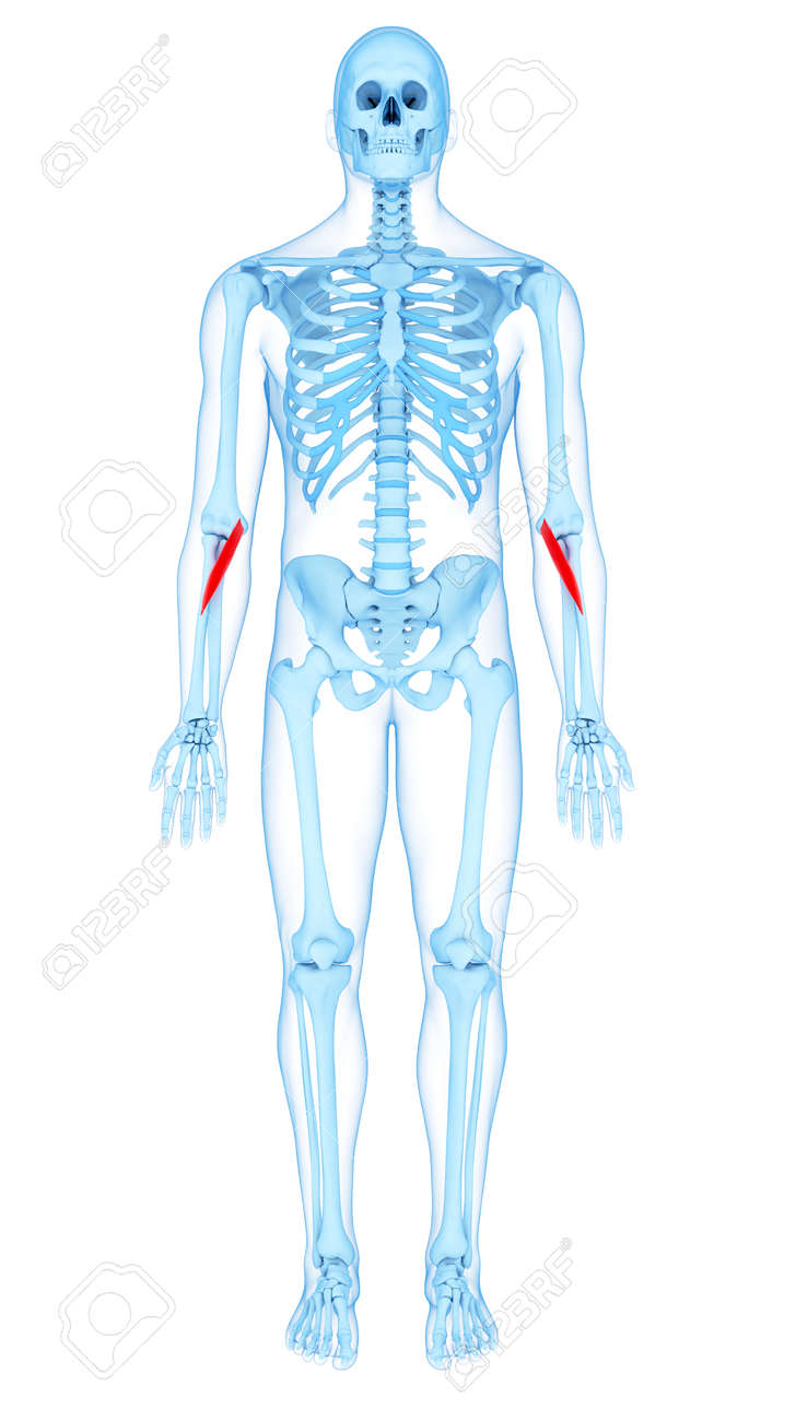 Medically Accurate Illustration Of The Pronator Teres Stock Photo ...