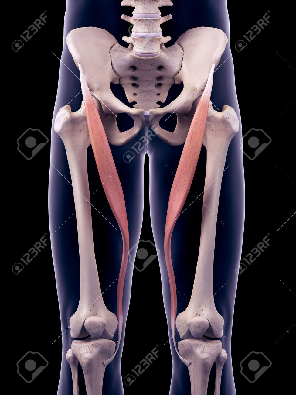 Medically Accurate Illustration Of The Satorius Stock Photo Picture