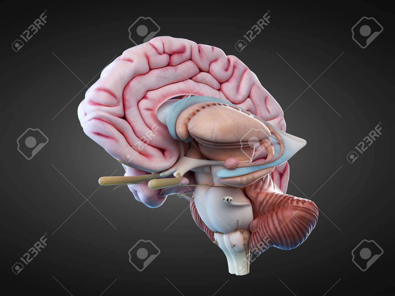 3d Rendered Medically Accurate Illustration Of The Internal Stock