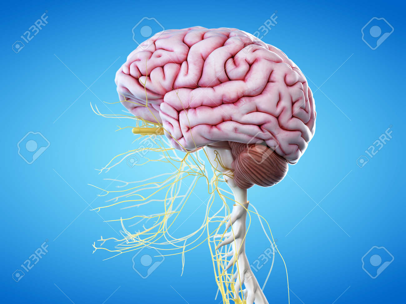 3d rendered illustration of the human brain and head nerves stock  illustration - 60134323