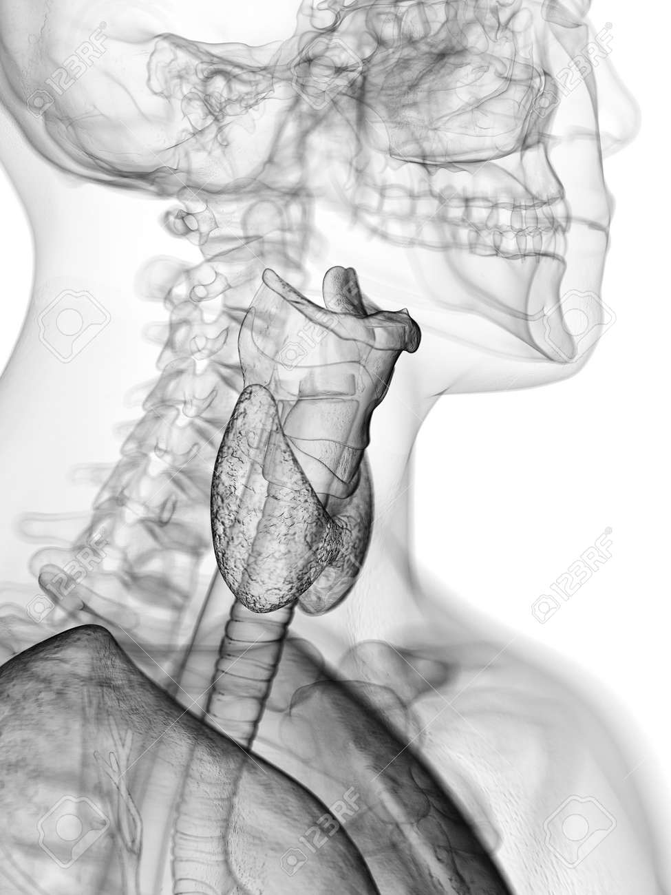 3d Rendered Medically Accurate Illustration Of The Throat Anatomy ...