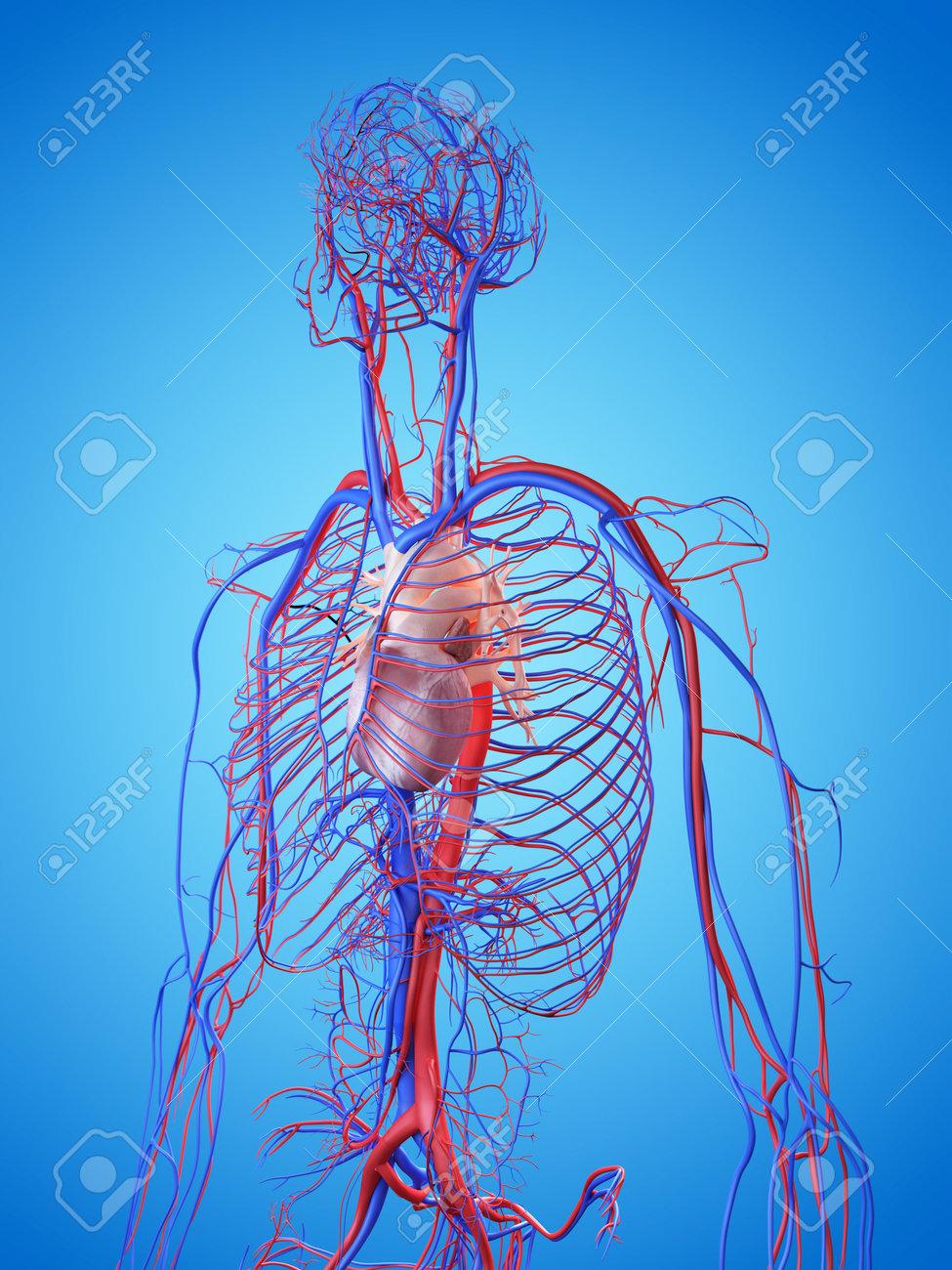 3d übertrug Abbildung Des Menschlichen Herzens Lizenzfreie Fotos ...