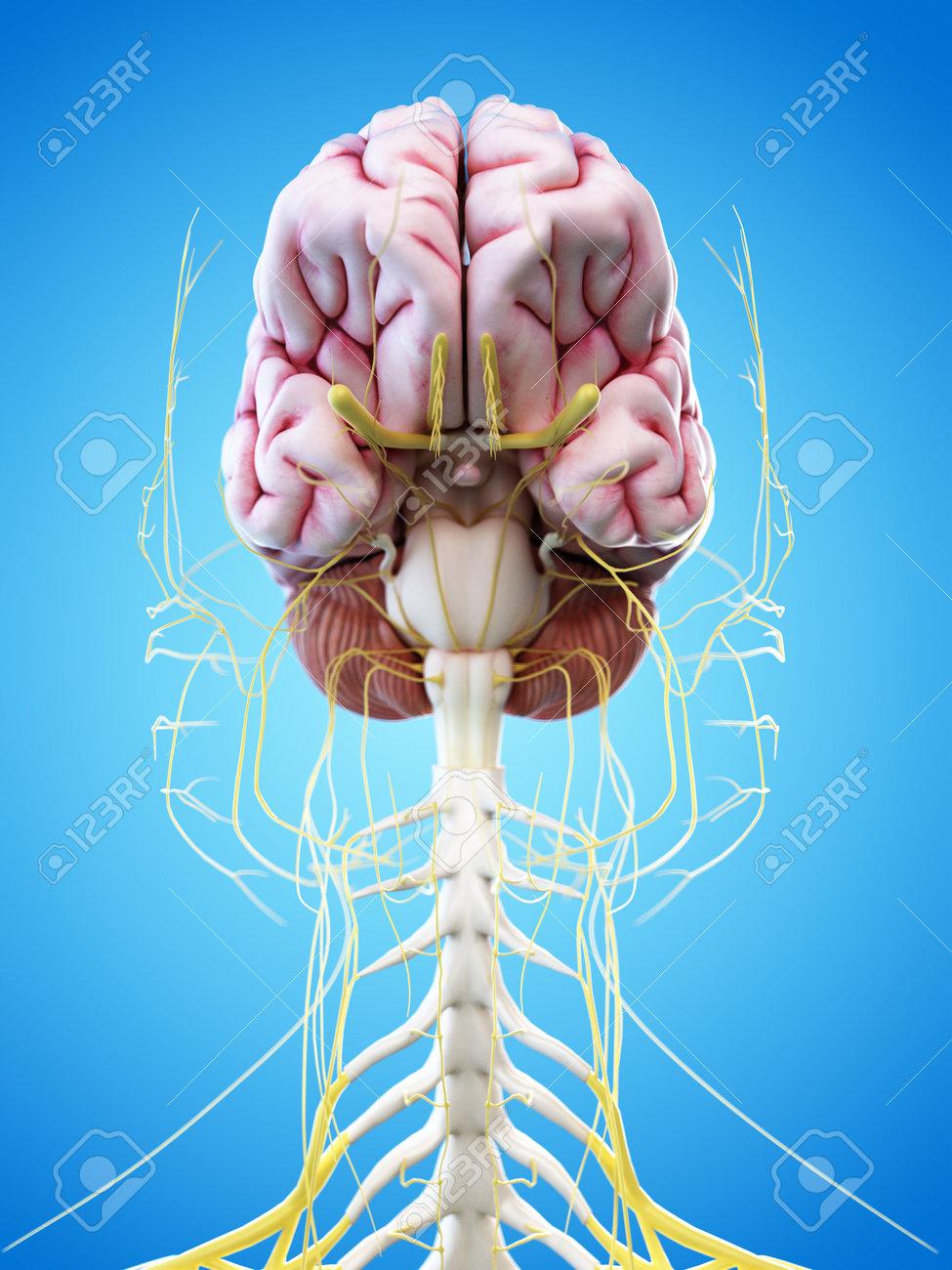 3d übertrug Abbildung Des Menschlichen Gehirns Und Kopfnerven ...