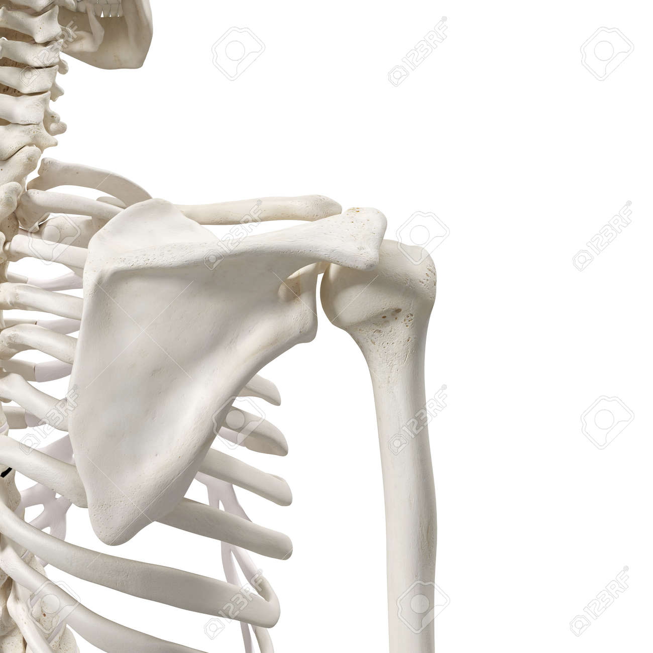 Medically Accurate 3d Rendering Of The Shoulder Bones Stock Photo