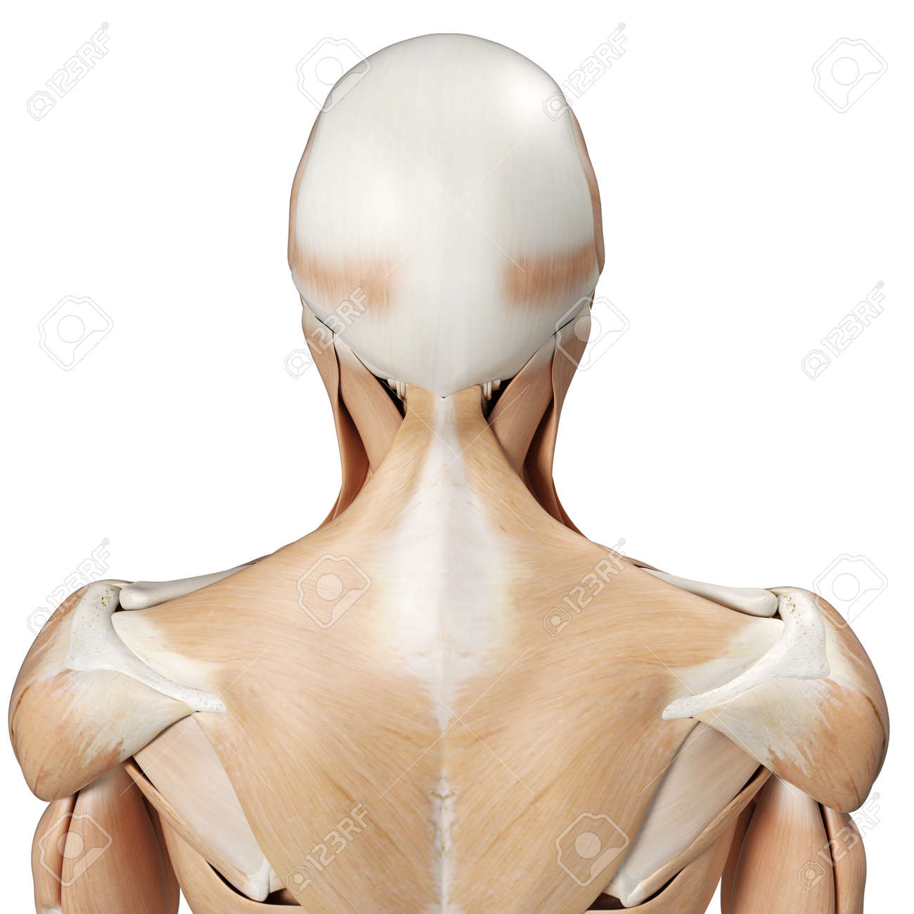 3d Rendered Medically Accurate Illustration Of The Upper Back