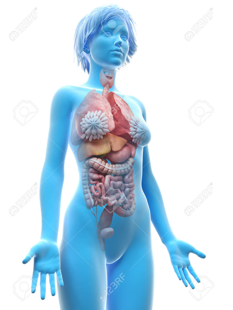 3d Rindió La Ilustración Médicamente Exacta De Los órganos Femeninos ...