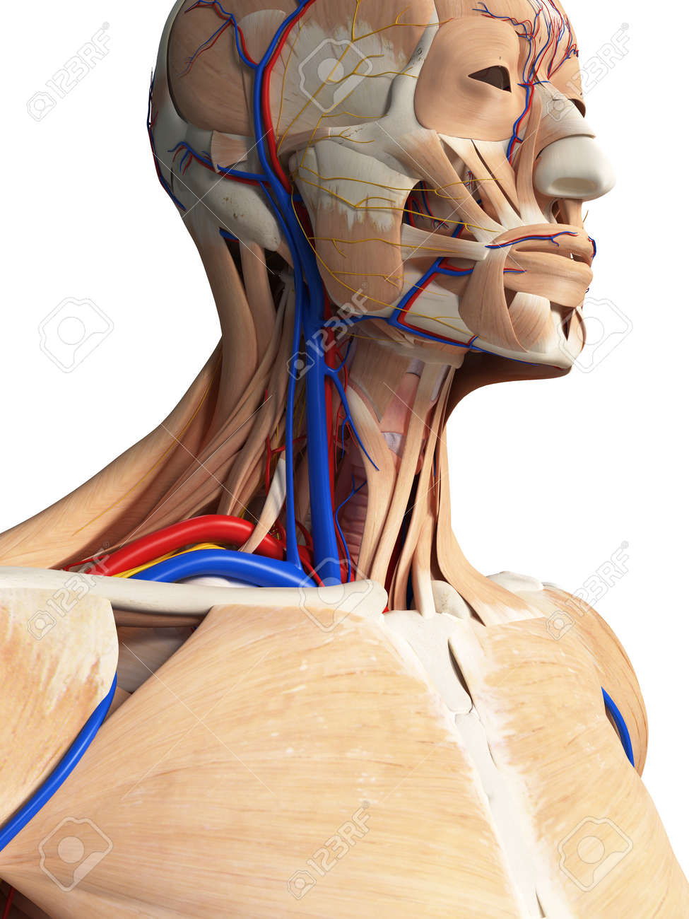 3d Rendered Medically Accurate Illustration Of The Head And Neck ...
