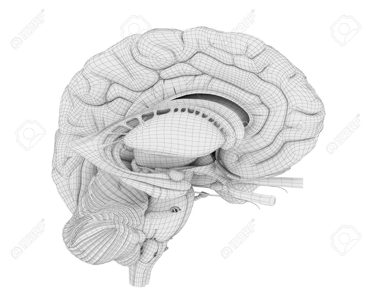 3d Rendered Medically Accurate Illustration Of The Brain Anatomy