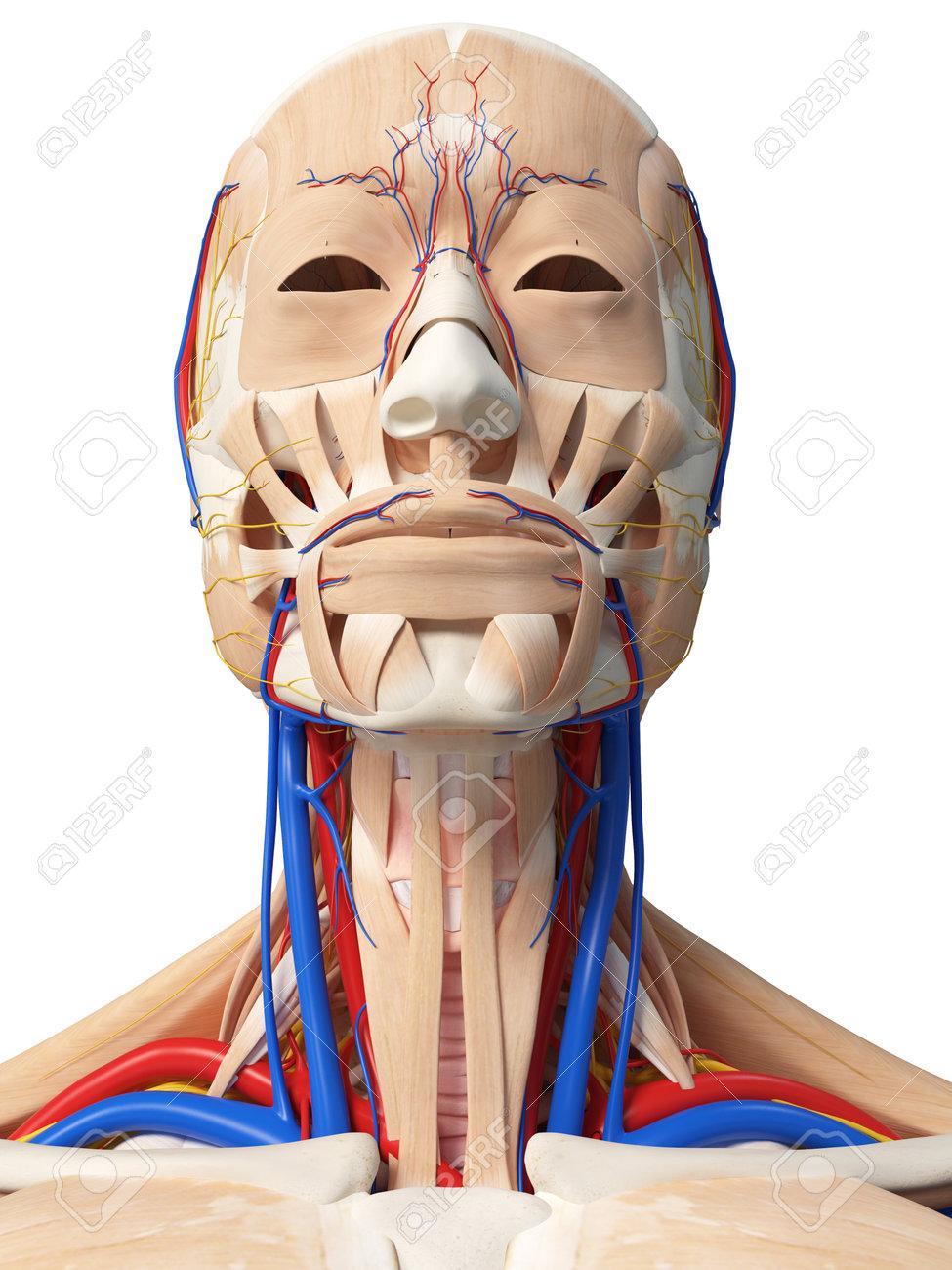 Ziemlich Face And Neck Anatomy Ideen - Menschliche Anatomie Bilder ...