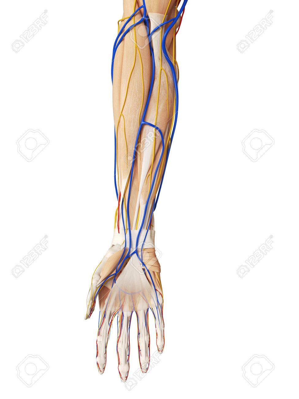 Arm Vessel Anatomy Gallery - human body anatomy