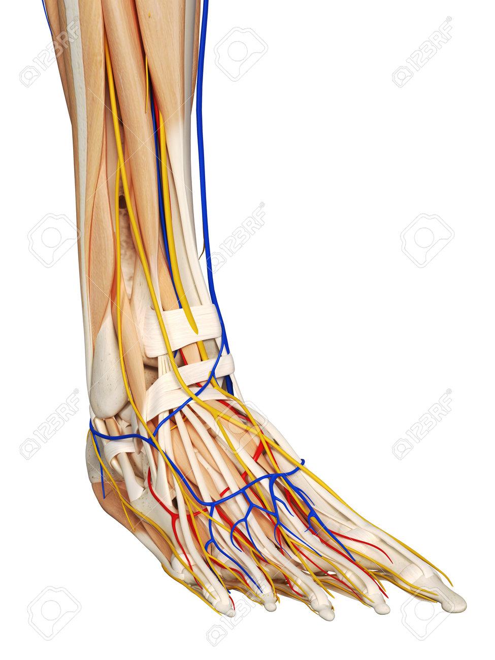 Anatomie Du Pied 3D 3d rendu médicalement précis illustration de l'anatomie du pied