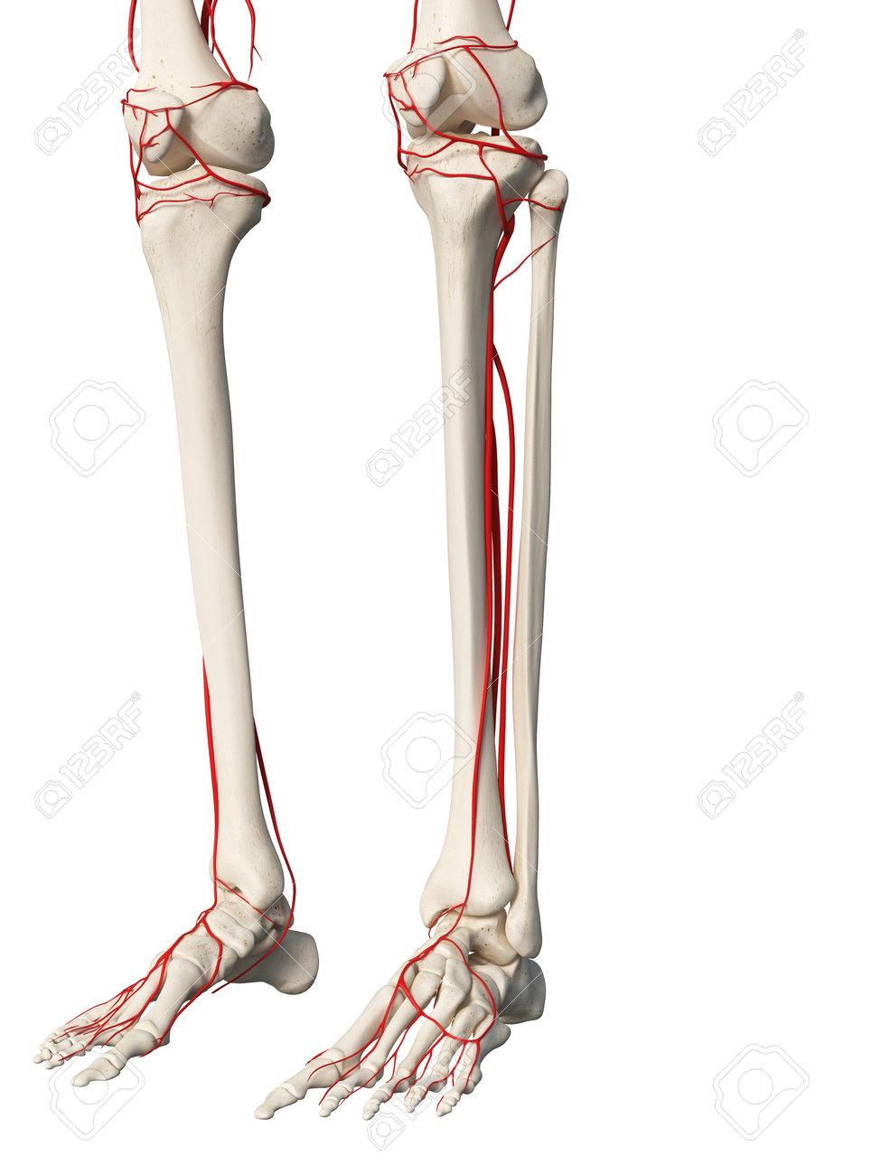 Ausgezeichnet Anatomie Der Beinvenen Bilder - Anatomie Ideen ...