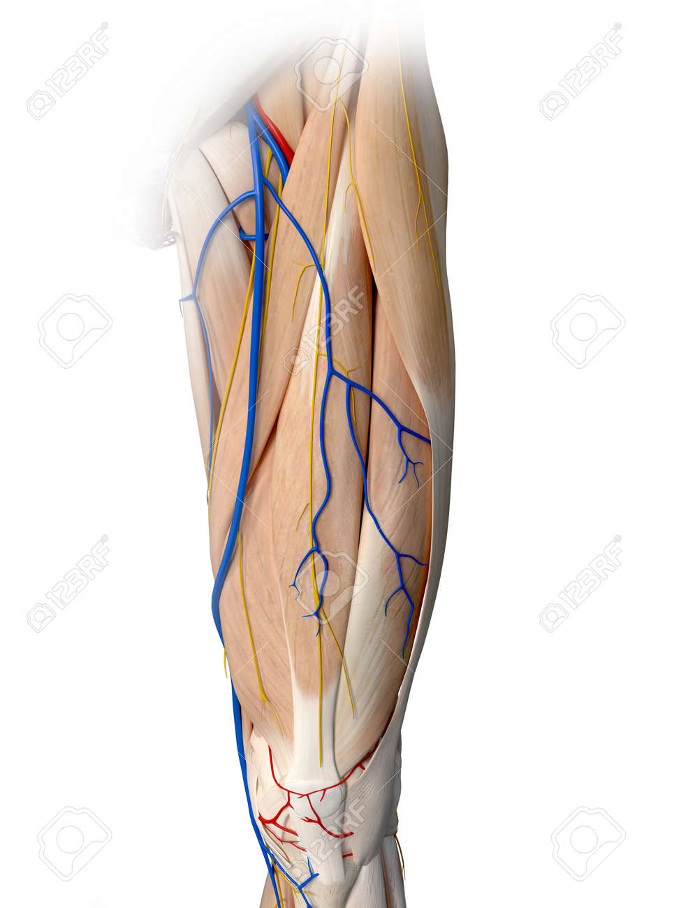 3d Rendered Medically Accurate Illustration Of The Leg Anatomy Stock