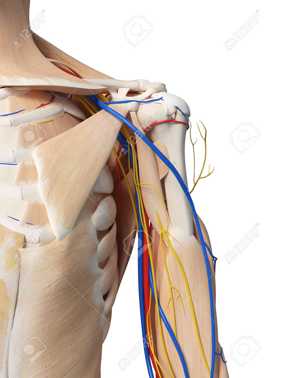 3d Rendered Medically Accurate Illustration Of The Shoulder Anatomy
