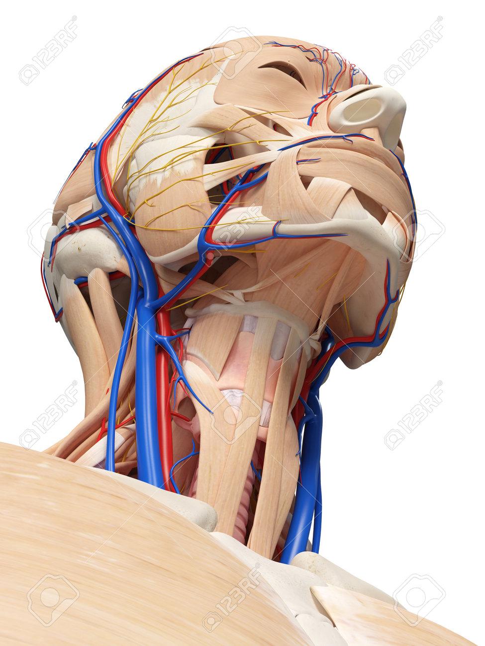 3d übertrug Medizinisch Genaue Illustration Der Kopf- Und ...