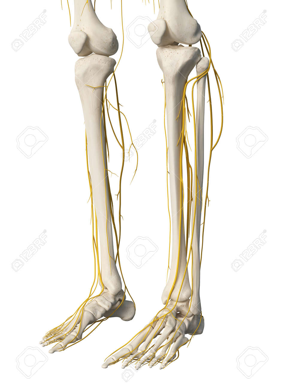 3d Rendered Medically Accurate Illustration Of The Leg Nerves Stock
