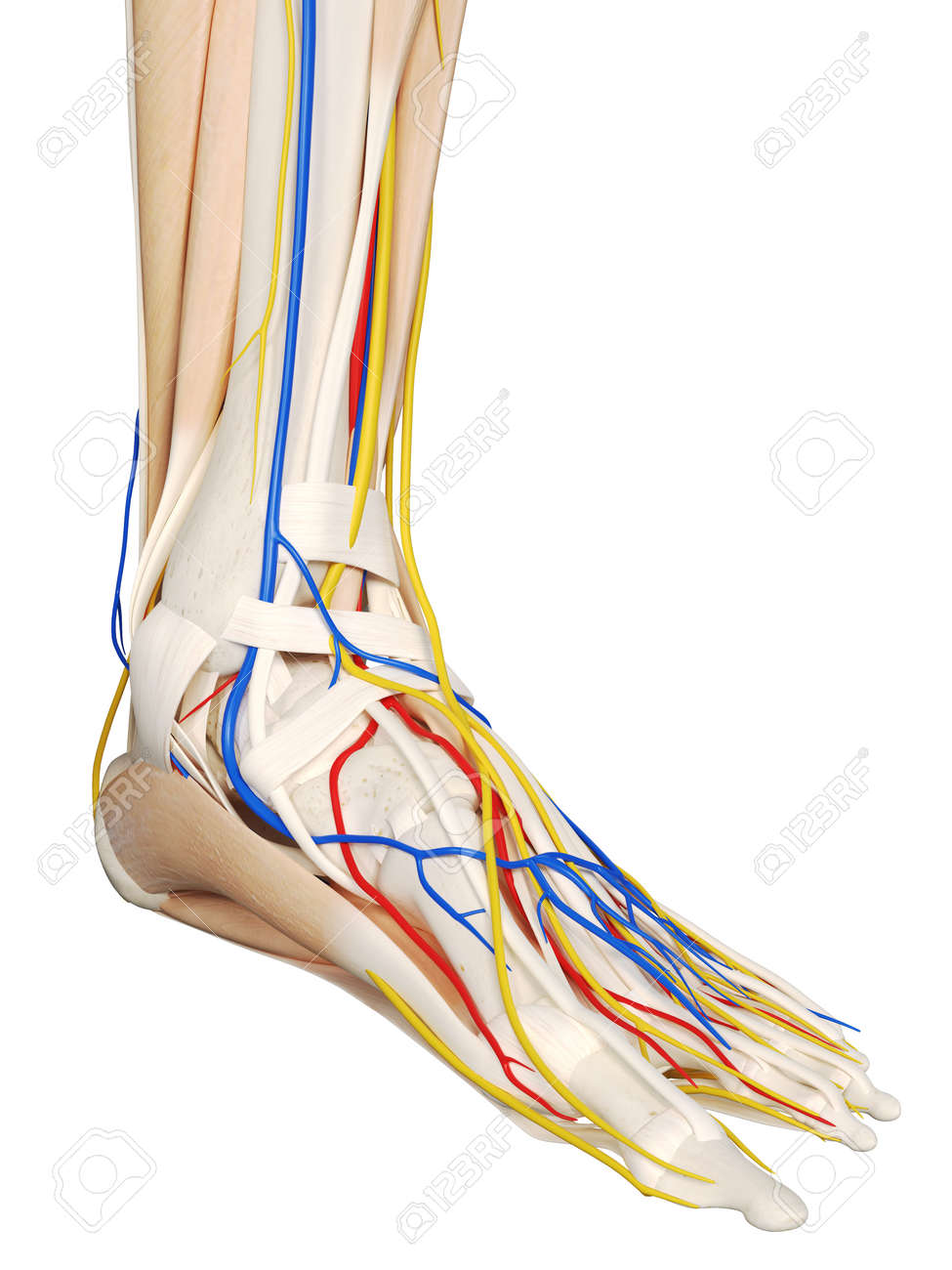 3d Rendered Medically Accurate Illustration Of The Foot Anatomy ...