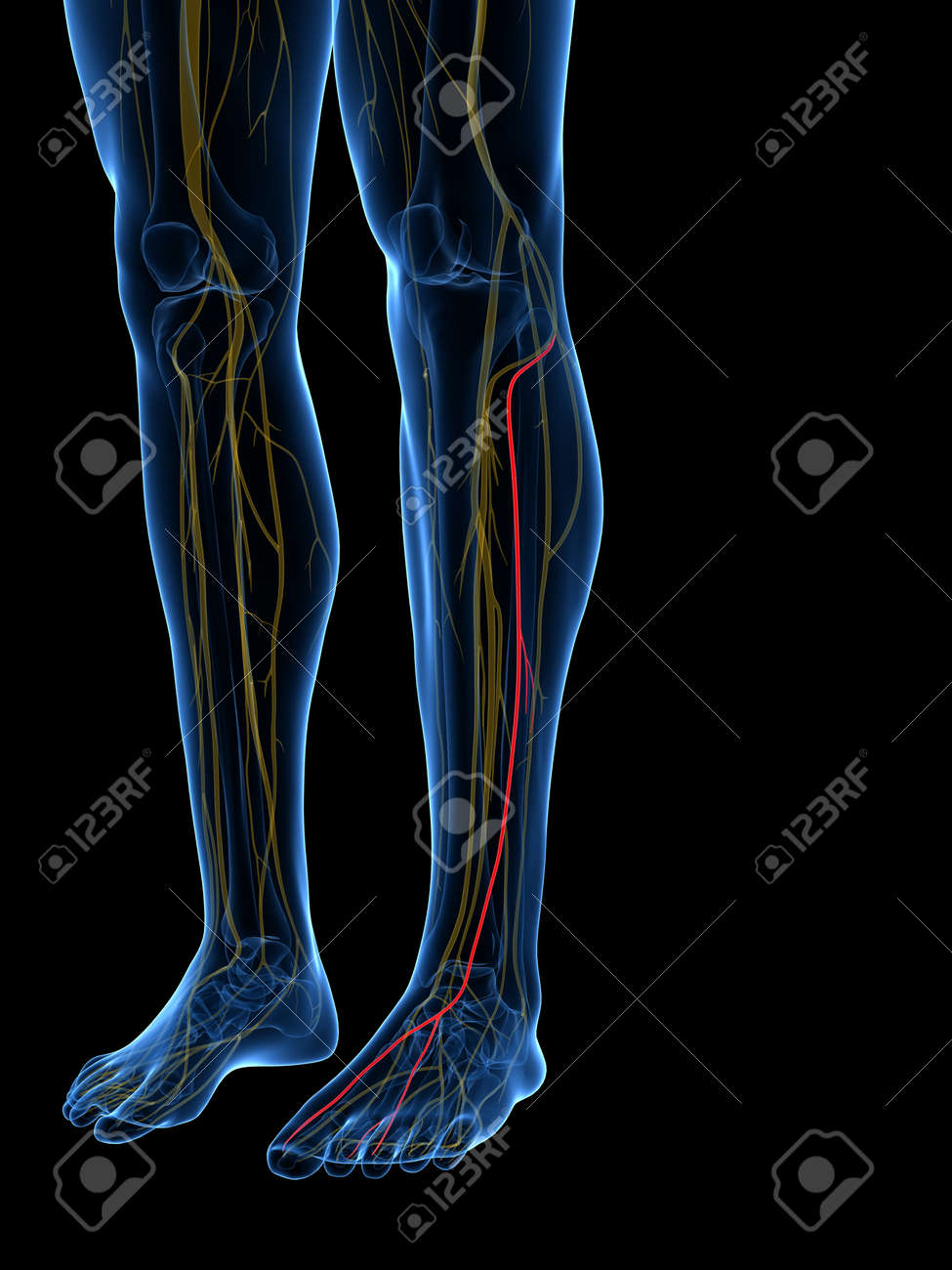 3d Rendered Medically Accurate Illustration Of The Superficial ...