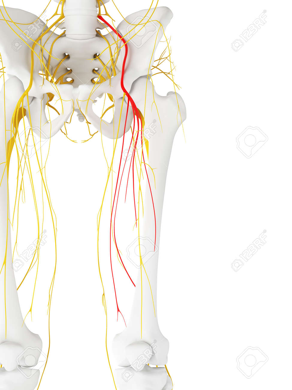 3d Rendered Medically Accurate Illustration Of The Femoral Nerve ...