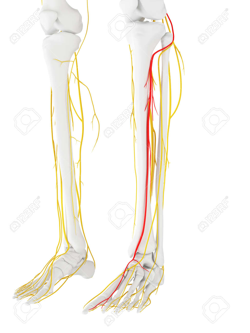 3d Rendered Medically Accurate Illustration Of The Deep Peroneal ...