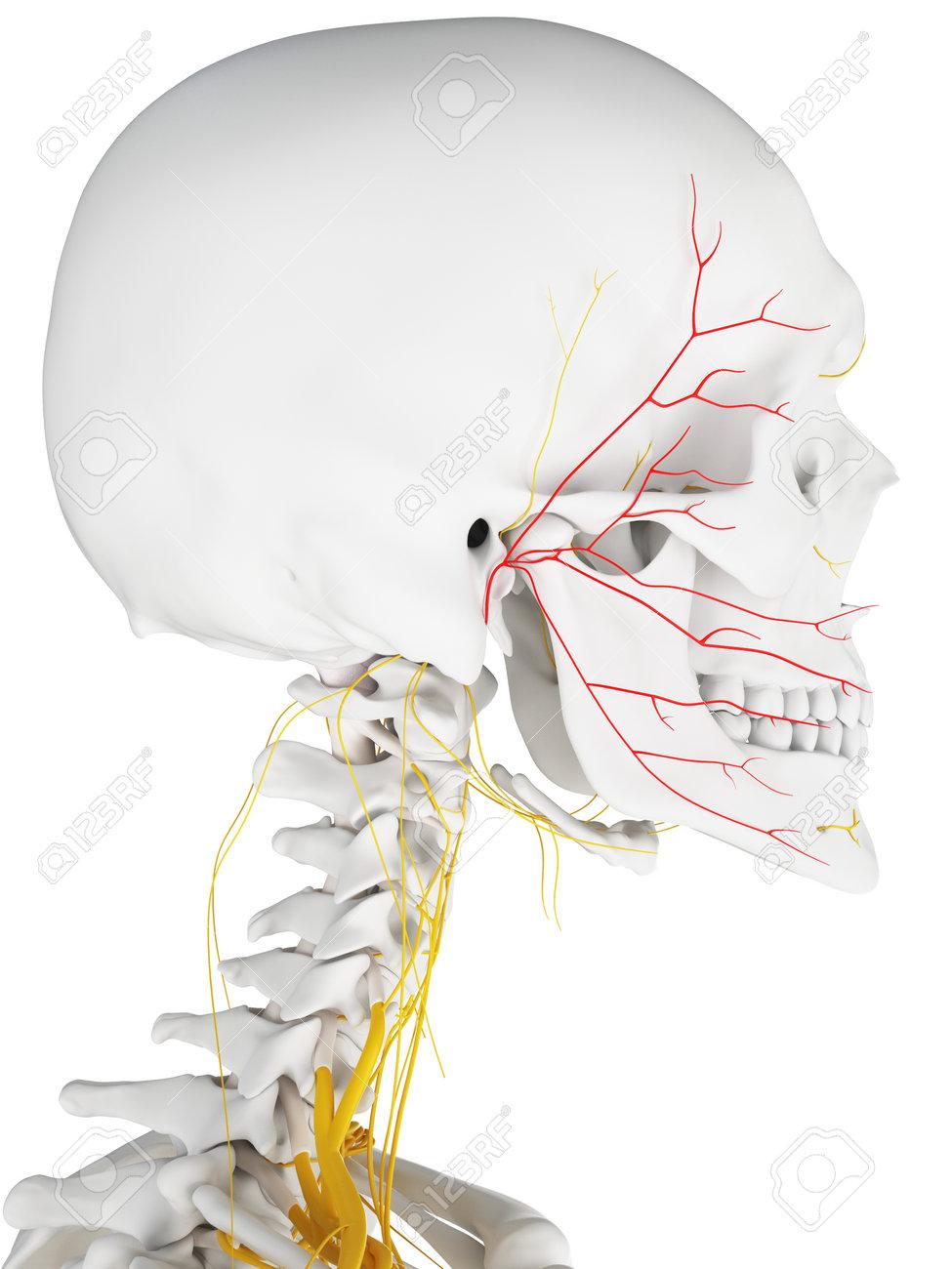 3d Rindió La Ilustración Médicamente Exacta Del Nervio Facial Fotos ...
