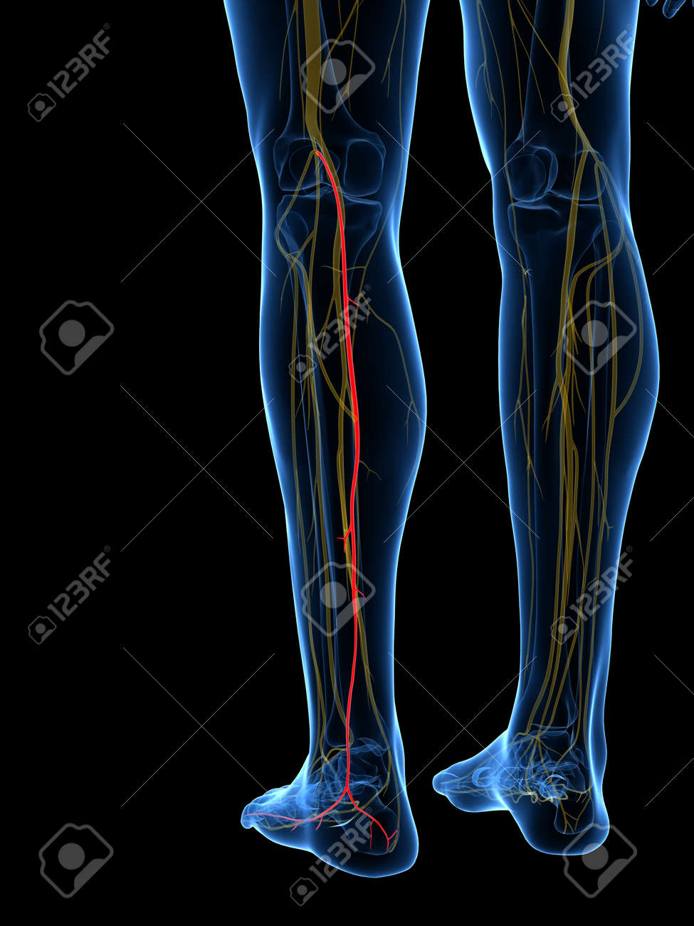 3d Rendered Medically Accurate Illustration Of The Medial Sural ...
