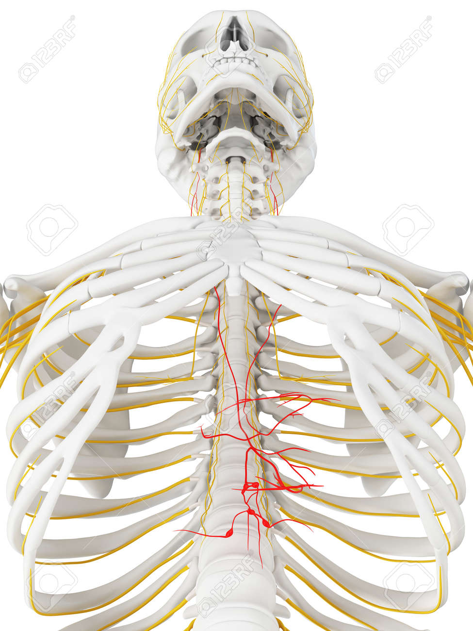 3d Rendered Medically Accurate Illustration Of The Vagus Nerve Stock ...