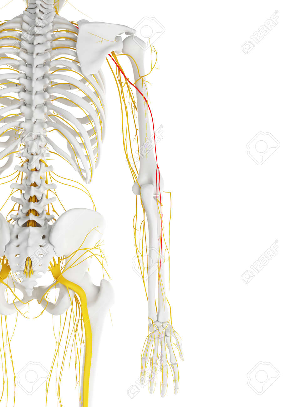 3d Rendered Medically Accurate Illustration Of The Radial Nerve ...