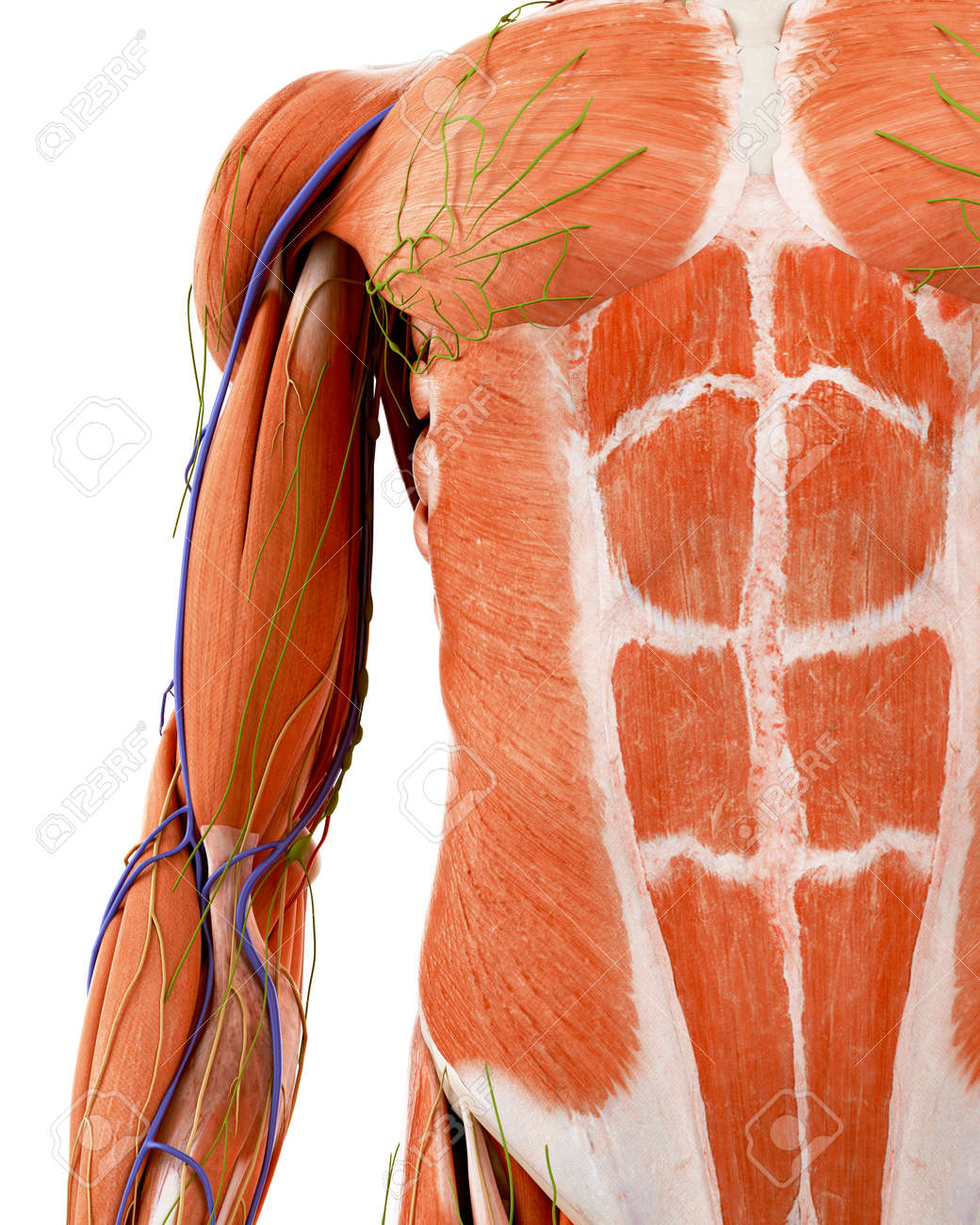 Medically Accurate Illustration Of The Human Upper Arm Anatomy Stock