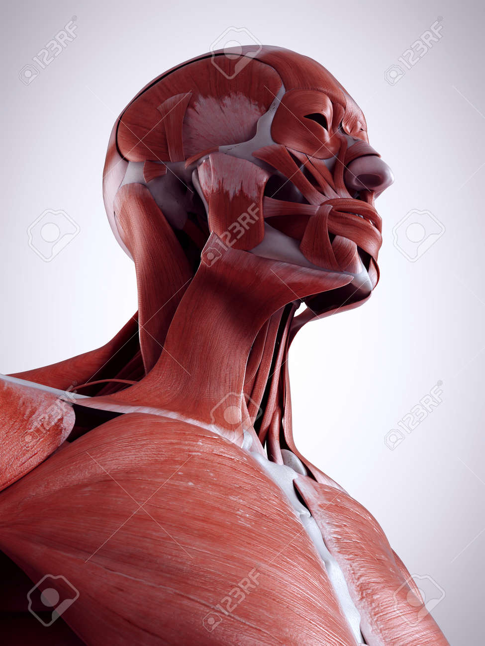 3d Rendered Medically Accurate Illustration Of The Neck Muscles