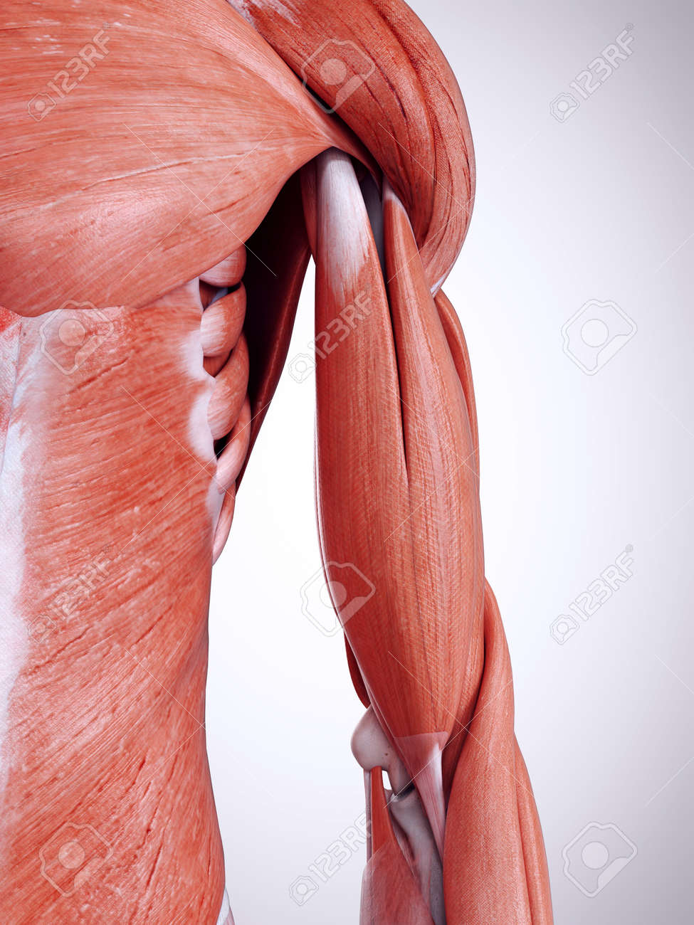 3d Rendered Medically Accurate Illustration Of The Upper Arm Muscles