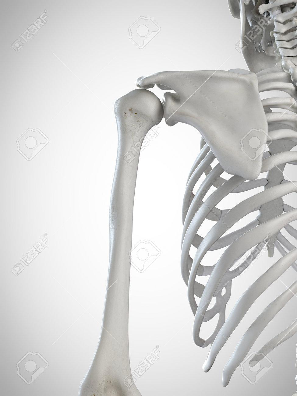 3d Rendered Medically Accurate Illustration Of The Shoulder Bones