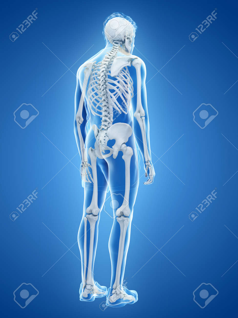 3d Rendered Medically Accurate Illustration Of The Human Skeletal