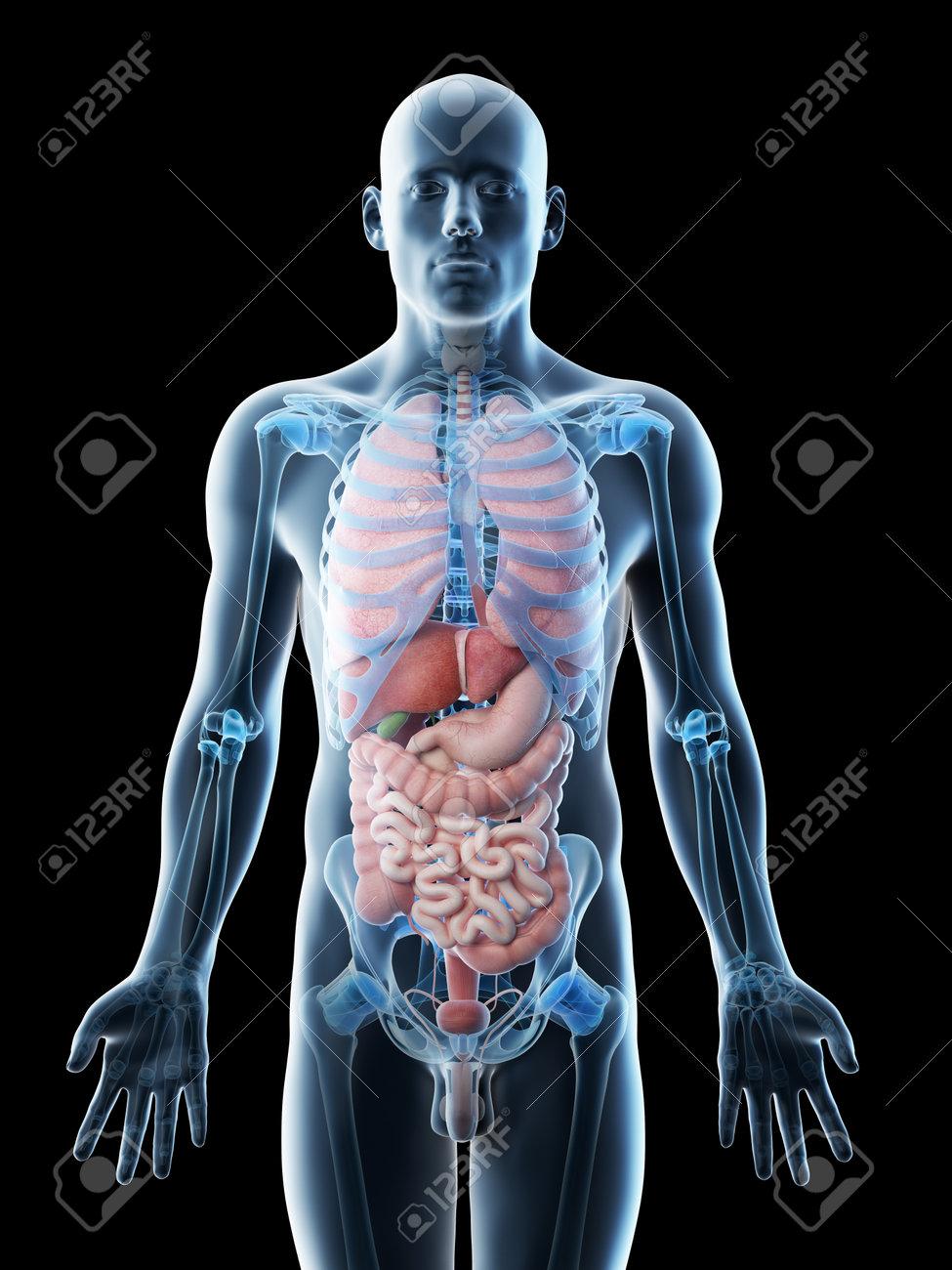 3d rendered illustration of a mans organs - 117700700