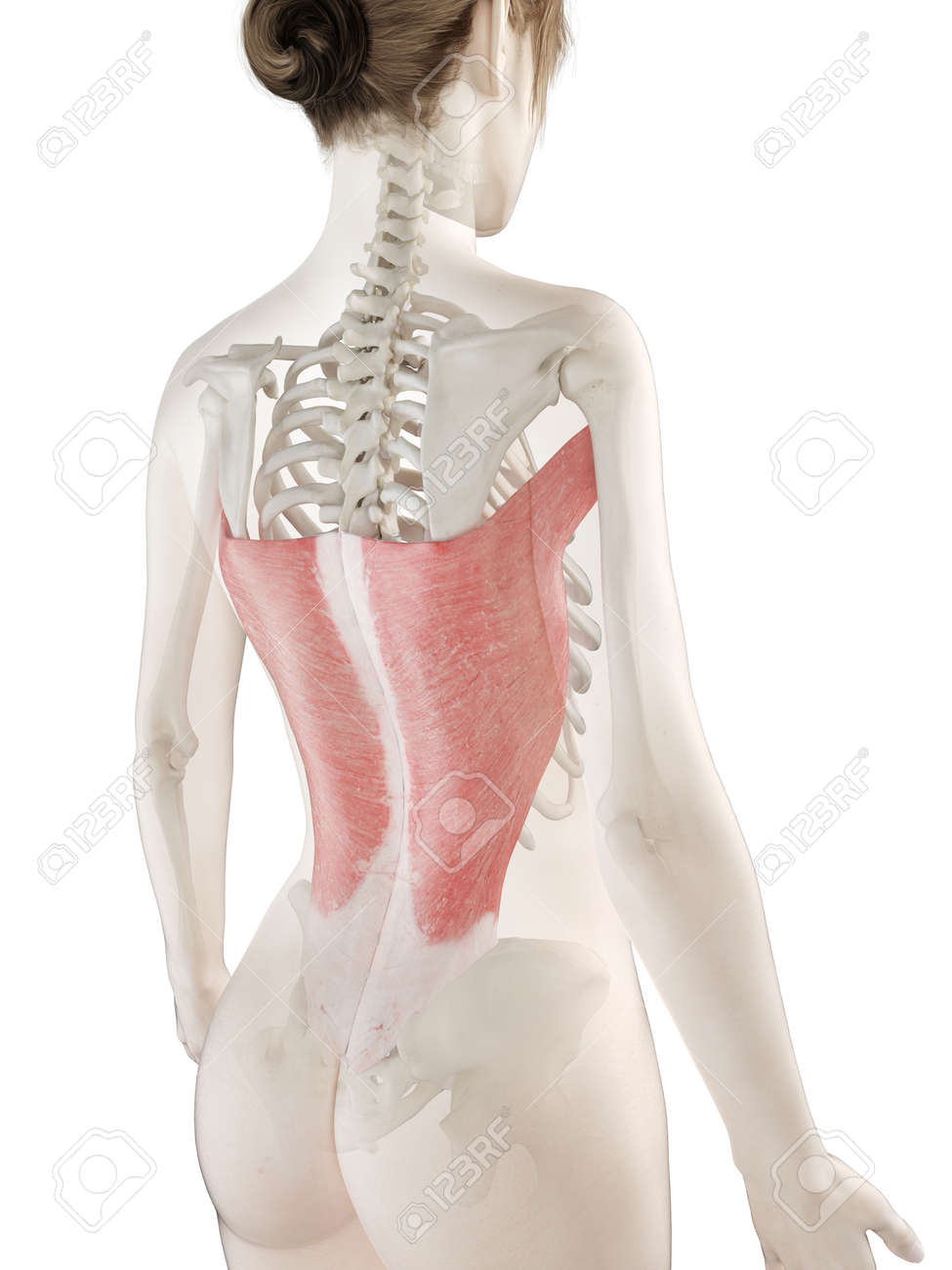 3d rendered medically accurate illustration of a womans Latissimus Dorsi - 120726841