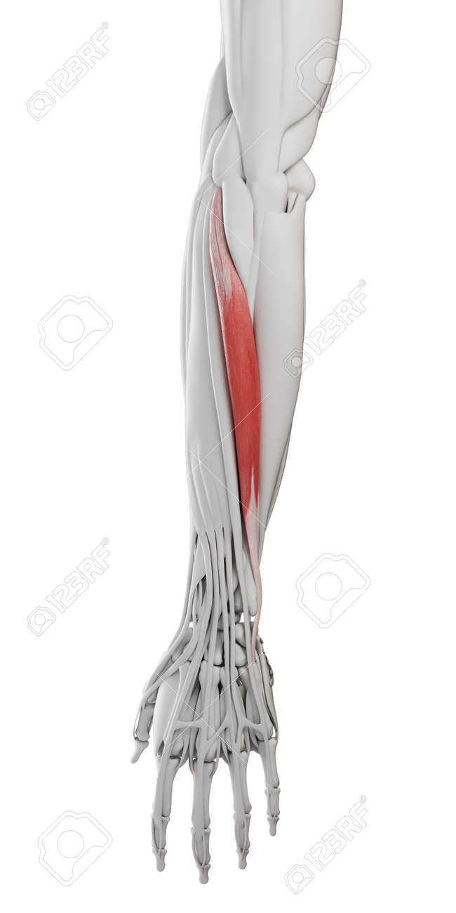 3d rendered medically accurate illustration of the extensor carpi ulnaris - 121283247