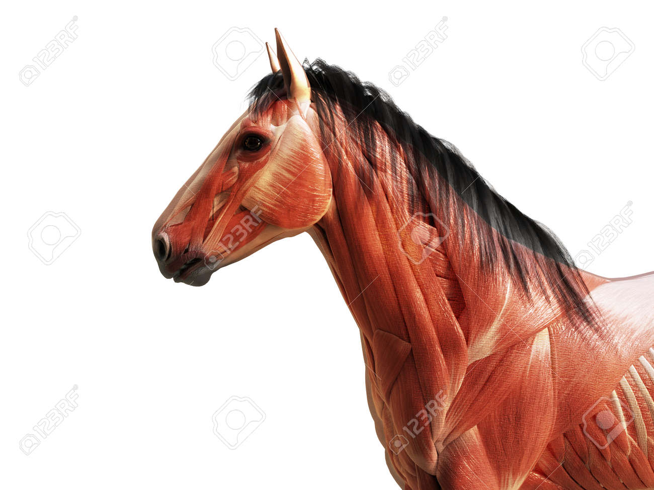 3d Rendered Medically Accurate Illustration Of The Horse Anatomy Stock Photo Picture And Royalty Free Image Image 123813285