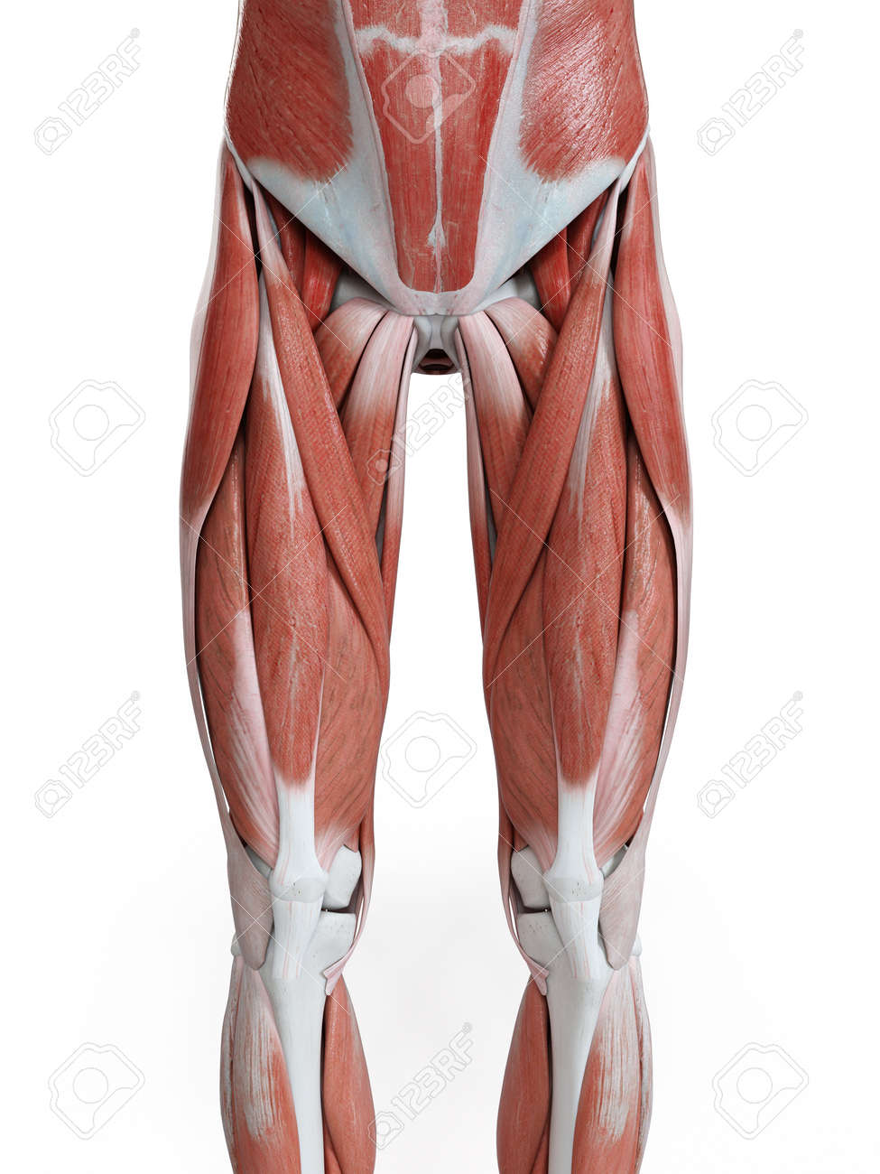 3d rendered medically accurate illustration of the leg muscles - 125248801