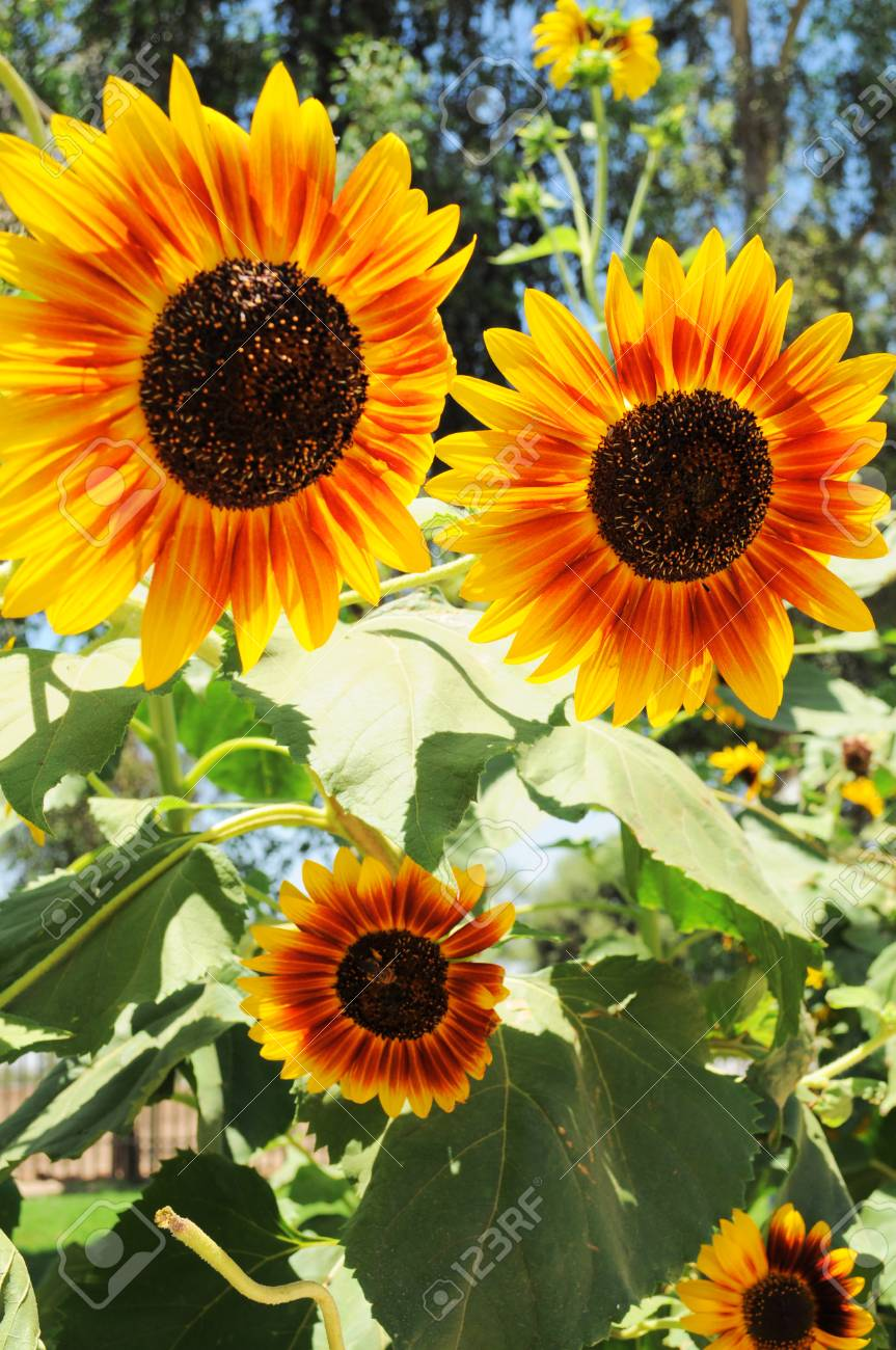 Big Contrasted Sunflowers Background Beautiful Natural Flowers